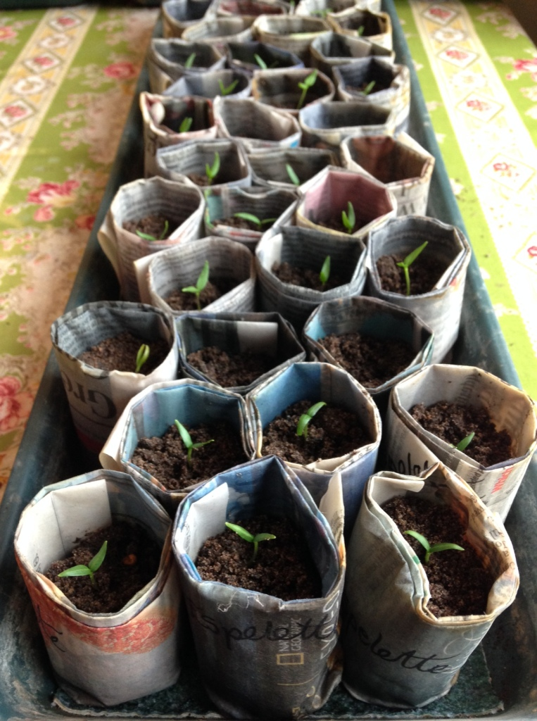 chilli seedlings in homemade paper pots