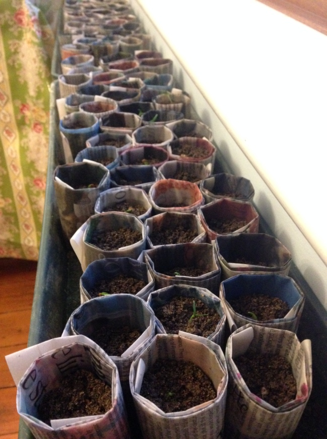 Chilli seeds in their forever pots