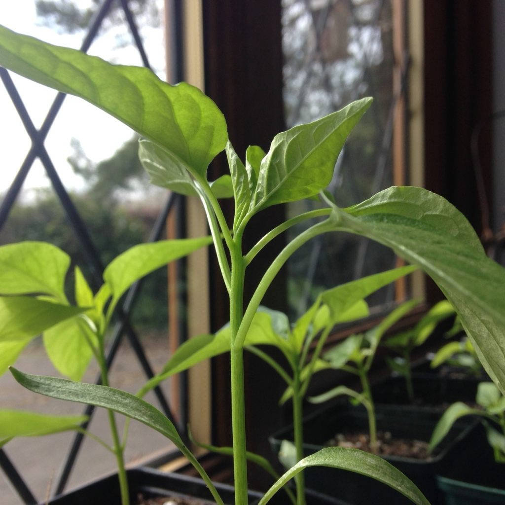 How and when to top your chilli plants? | Birdhouse Chillies