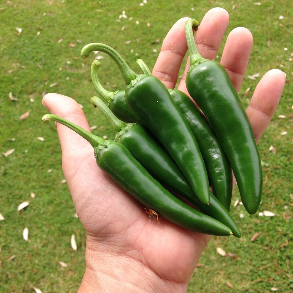 Homegrown jalapeños, the first of the season